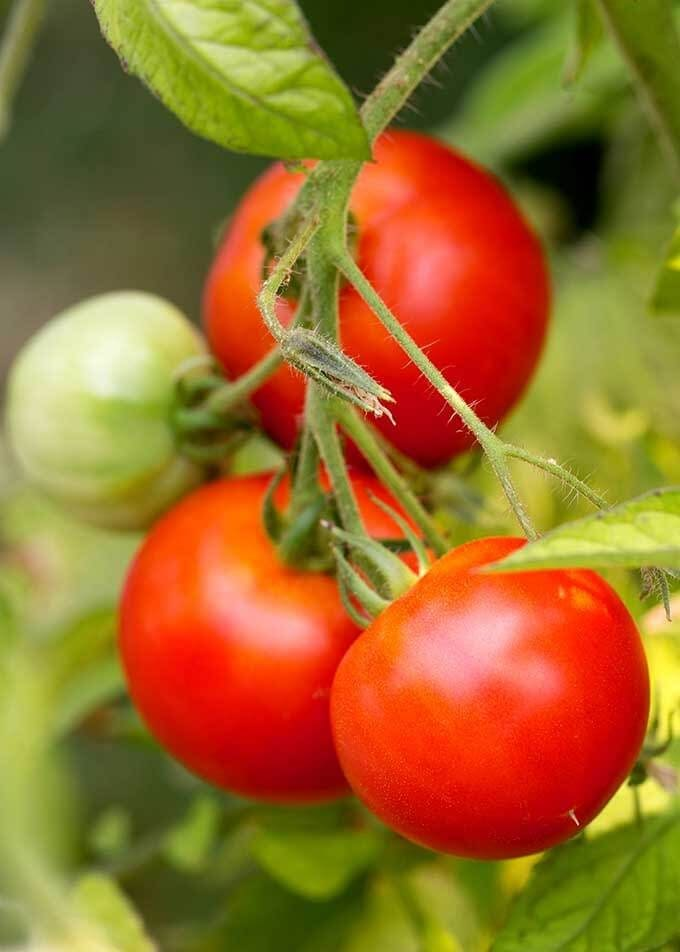 ripe tomatoes on a vine